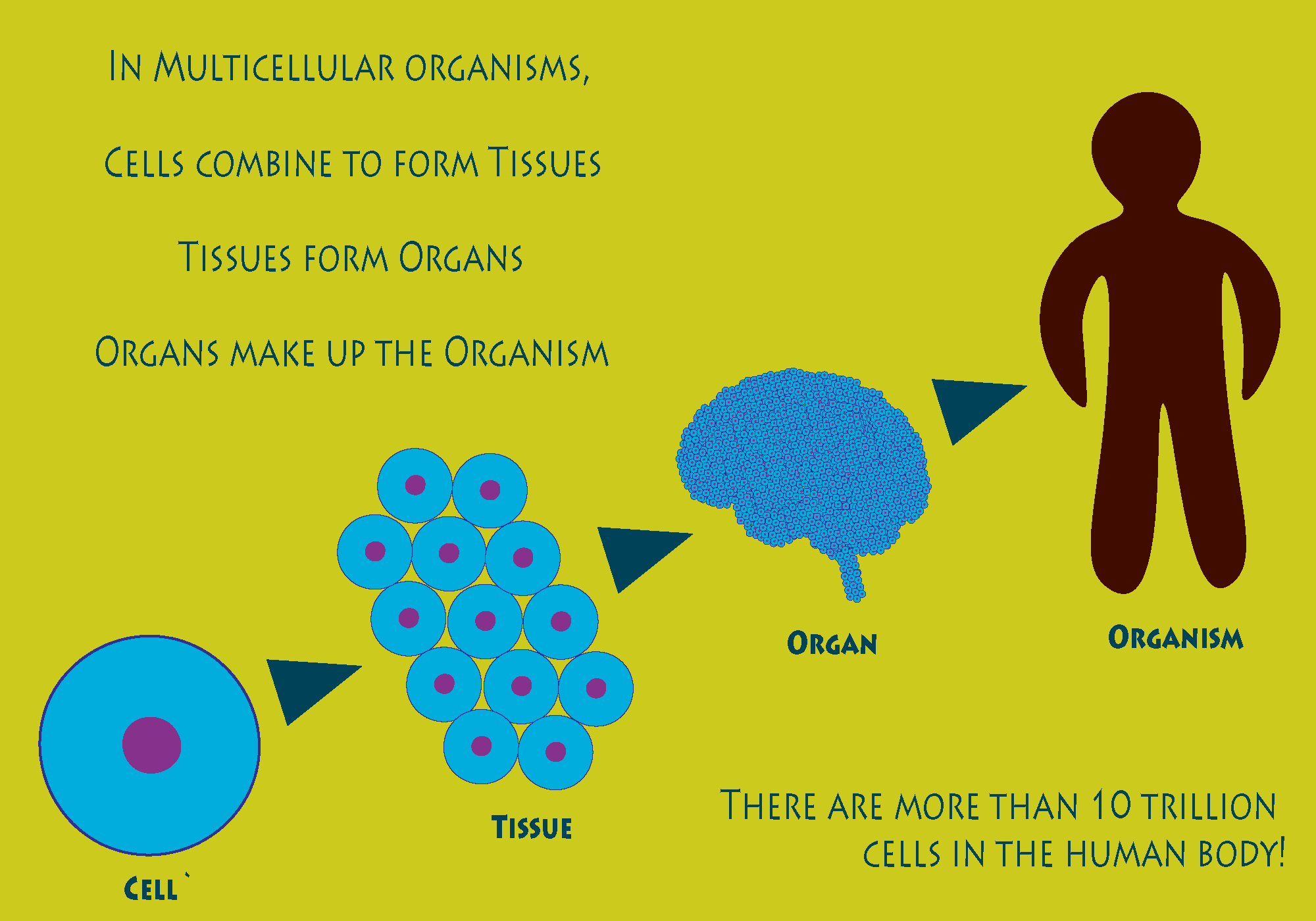 Cells in Organisms